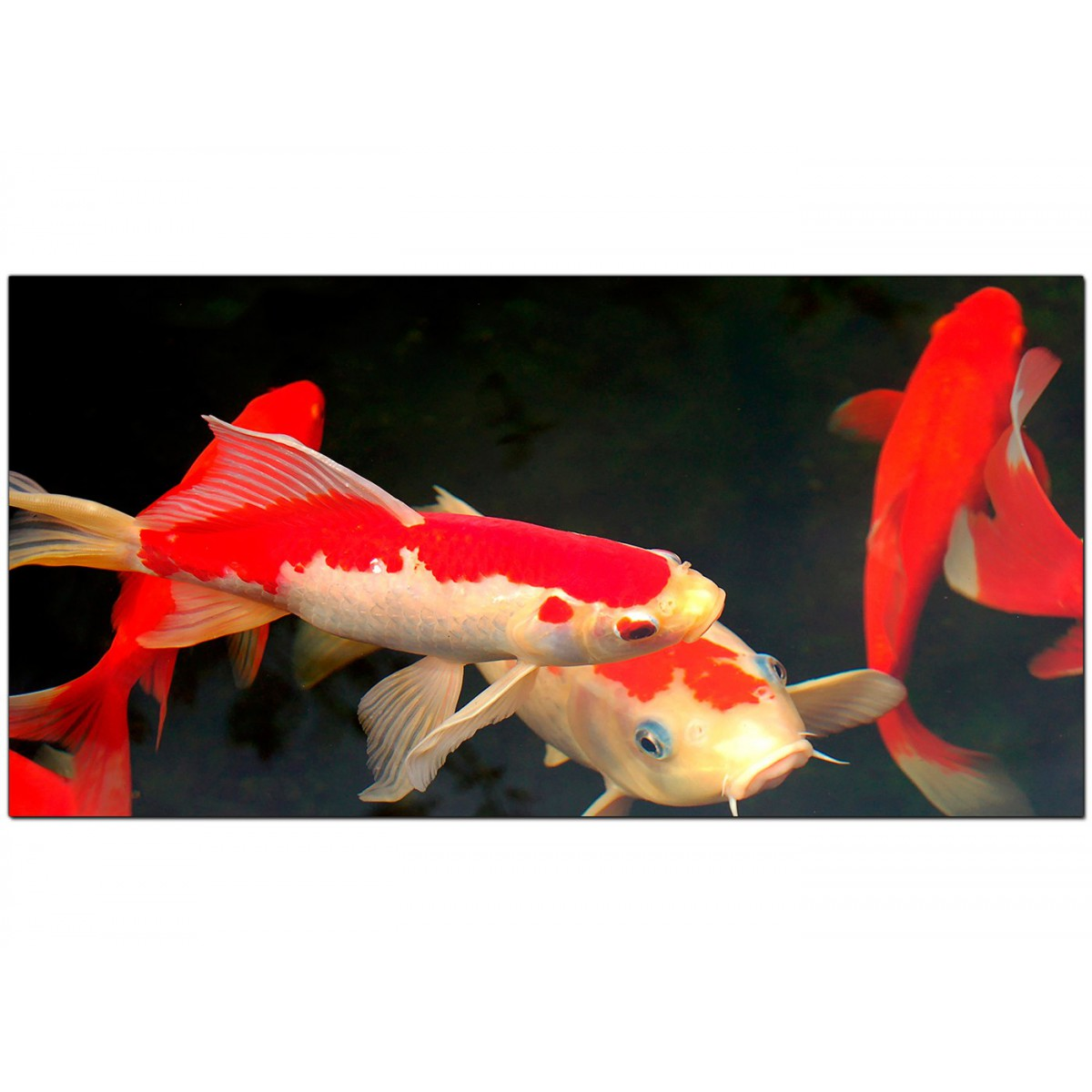 Panoramic canvas prints of koi carp fish for your dining room for Purple koi fish for sale