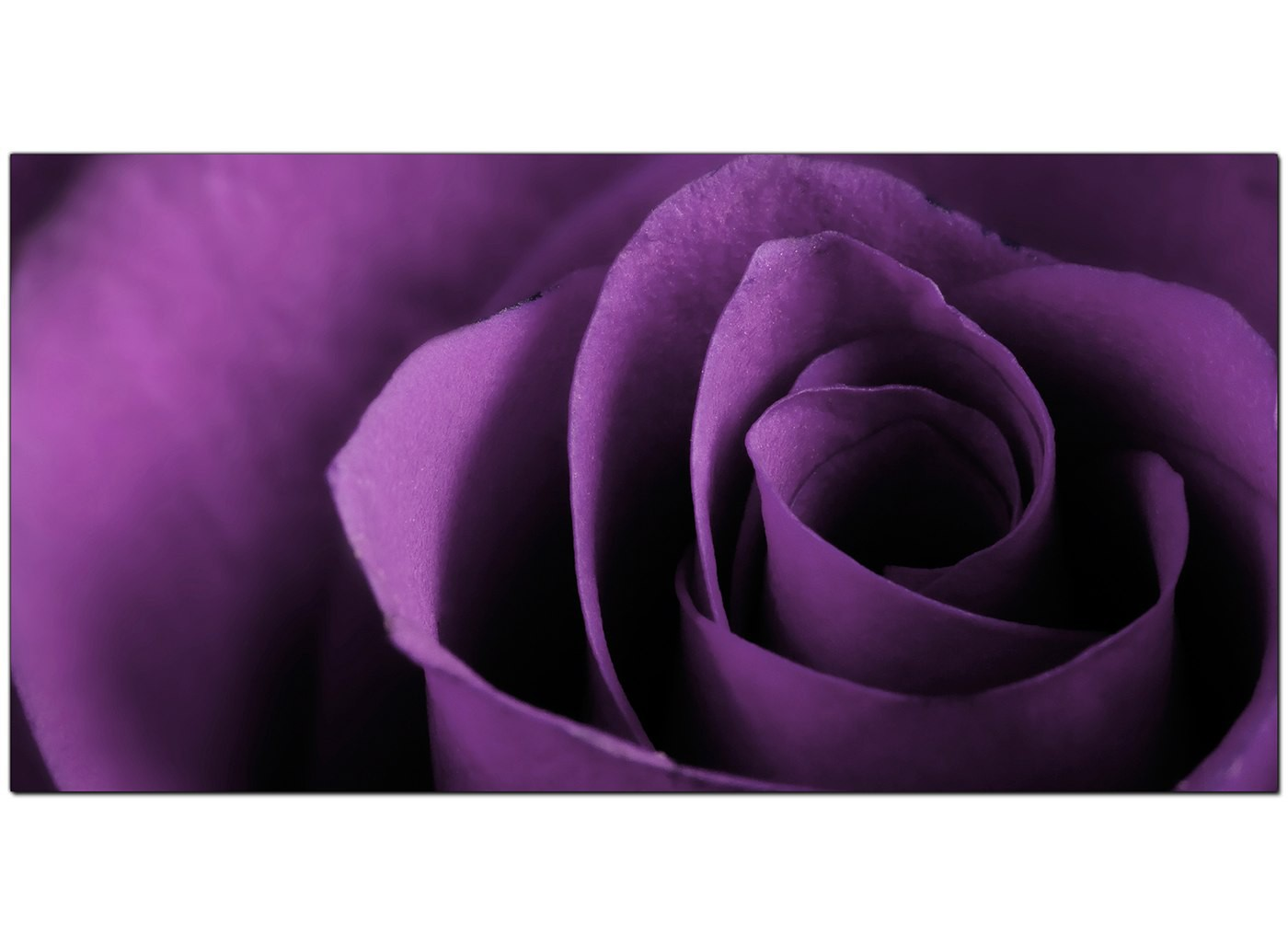 Modern Purple Canvas Art Of A Rose Flower
