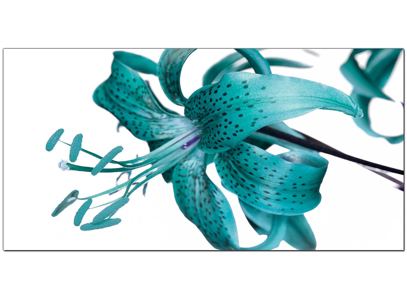 Large Teal Canvas Prints Of A Tiger Lily Flower